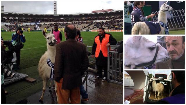 Serge le lama, nouvelle mascotte des Girondins