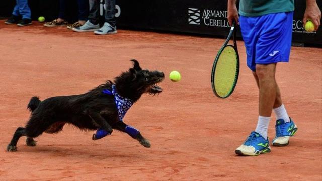 Бездомные собаки исполнили роль болбоев на турнире в Сан-Паулу