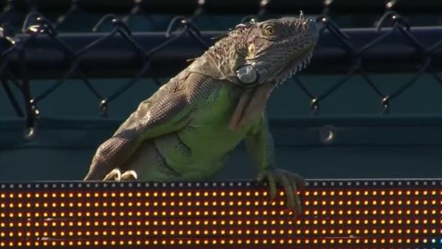 Игуана прервала матч Хааса и Веселы в Майами