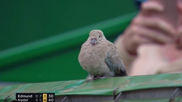 Дерзкий голубь наплевал на болбоя и улетел с корта только после угроз Надаля