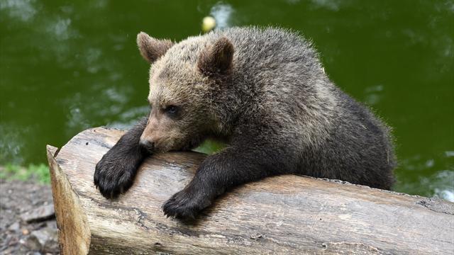 ВЯпонии пенсионер-каратист смог показать нападение медведя