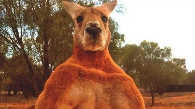Очень накаченный кенгуру вернулся и снова попозировал на камеру