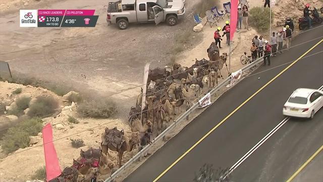 Giro de Italia2018: Un grupo de camellos, espectadores de lujo del paso del pelotón