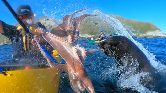 Наглейший тюлень бросил осьминога в лицо каякеру, который просто плыл на байдарке