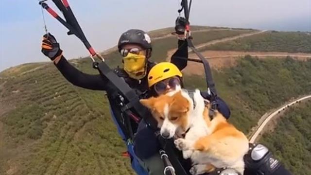 Хозяева корги устроили акцию в Шанхае – 1500 собак взмыли в небо на парапланах