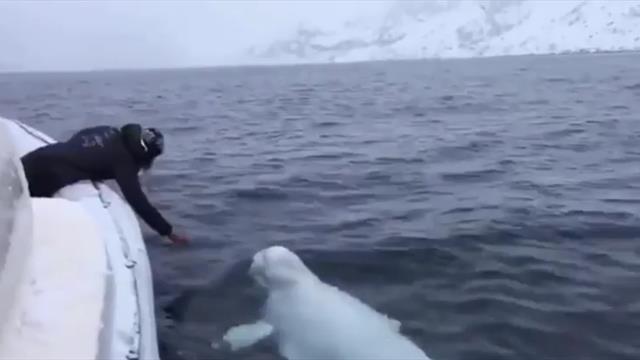La tierna imagen de una ballena beluga jugando al rugby en el mar
