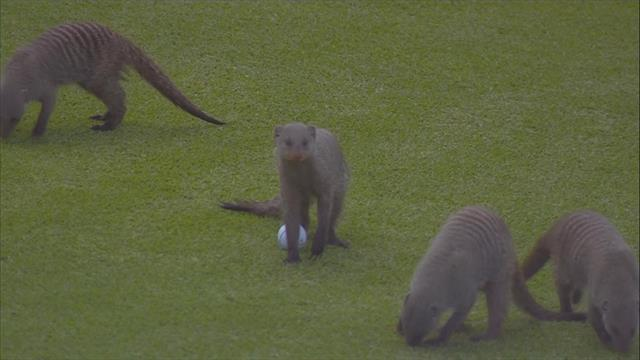 Can we have our ball back please? - Group of mongoose cause chaos on golf course