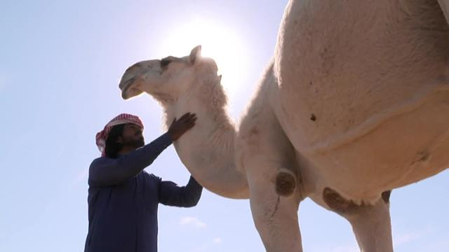 Dakar Explore: conosciamo meglio il dromedario, la nave del deserto
